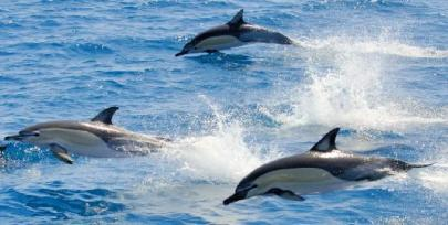 common-dolphins-bay-of